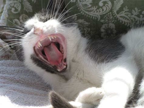 Cat yawn | Feline portriature | Cat yawning, Cats, Kittens