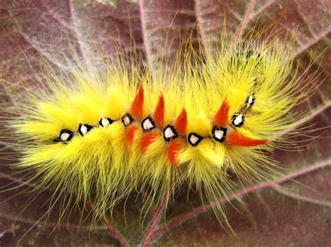 the fiery and furry sycamore moth caterpillar featured creature