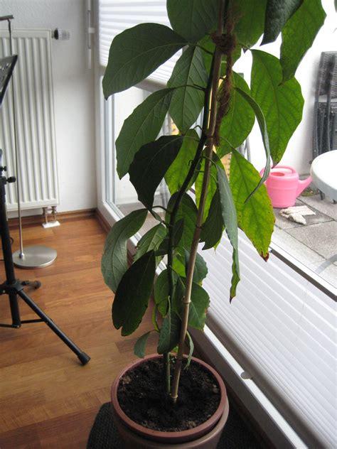 avocadobaeumchen schnitt zimmerpflanzen pflege und