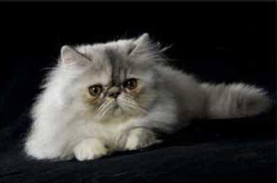 allevamento gatti persiani roma domus aventina l allevamento dei gatti persiani