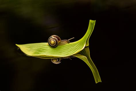 black background leaves reflection snail macro