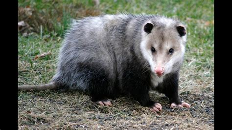 Possum Images 15 Amazing Facts About The Opossum