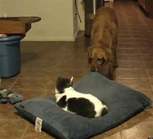 cat steals dog39s bed and dog isn39t having it video With cat and dog furniture