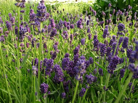 lavender ellagance related keywords suggestions for lavender angustifolia ellagance purple