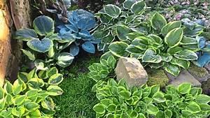 Pflanzen Im Schatten : lichte bilder im schatten funkien sind edle langlebige stauden ~ Orissabook.com Haus und Dekorationen