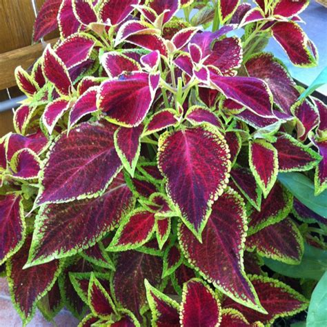 coleus cultivars 329 best coleus varieties images on pinterest container garden container plants and shadow plants