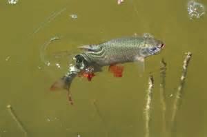 würmer in der küche lechfischereiverein augsburg e v fische in den vereinsgewässern