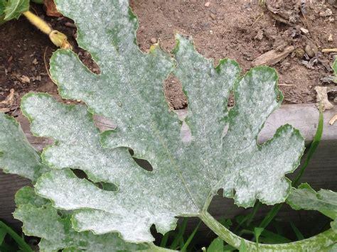 Schimmel Auf Pflanzen by Plant Disease Uconnladybug S
