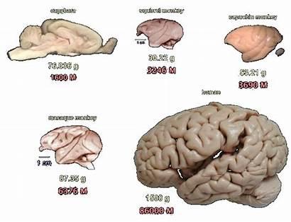 Brain Capybara Sayin Quixote Acid Test