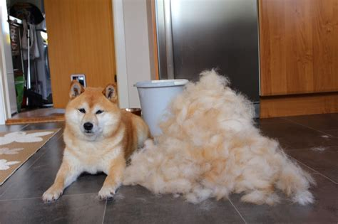 shiba shed a shiba inu usually sheds it s undercoat during one