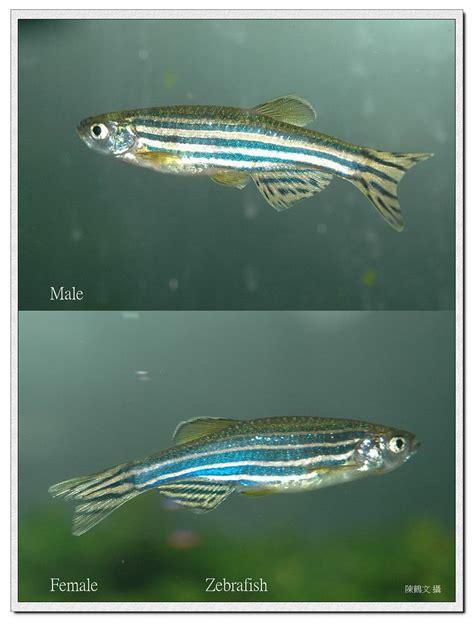 male  female zebrafish morphological comparison flickr