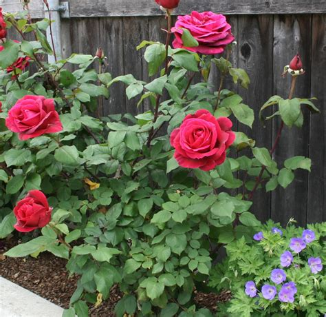 what to plant with roses plants flowers 187 hybrid tea roses