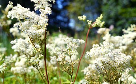 Pļavas karaliene vīgrieze - īstens dabas aspirīns - Jauns.lv