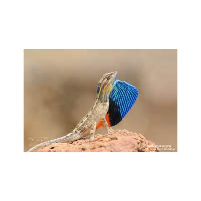 Photograph Fan-throated lizard (Sitana ponticeriana) by Anup Deodhar on 500px