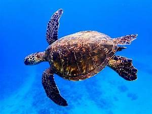 sea turtles on Maui Facts  Sea