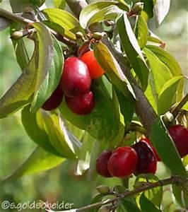 Busch Mit Roten Beeren : wildfr chte und wildfruchthecken ~ Markanthonyermac.com Haus und Dekorationen