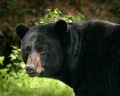 Orso Nero Americanus Ursus Dettagli Grande Bear