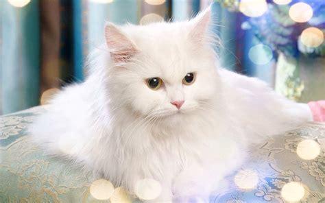 Gambar Kucing Lucu Dan Imut Untuk Wallpaper Majalah Cat Dog