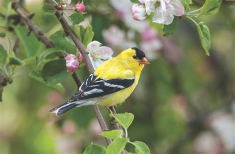 wild birds unlimited photo share american goldfinch