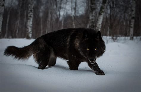 Wallpaper Black Wolf Background by 4k Wolf Wallpapers 2019 Allhdwallpapers