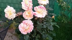 Kletterrosen Richtig Pflanzen : rosen in meinem garten ~ Markanthonyermac.com Haus und Dekorationen