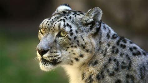images  snowy leopard  pinterest images