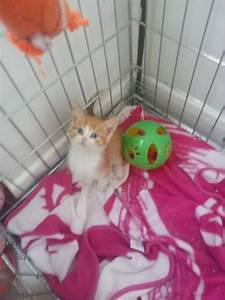 Fluffy ginger and white male kitten | St Helens ...