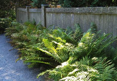 landscape ferns this is the ferns page of my a to z garden guide how to care for them landscaping with them
