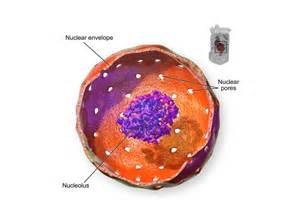 Animal Cell Nucleus and Nucleolus