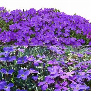100pcs Purple Flower Aubrieta Hybrida Seeds Garden ...