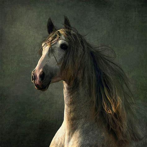 horse andalusian horses arabian spanish pretty animals arab war majestic conquistador andalusians stallion wojtek kwiatkowski shagya beauty breed