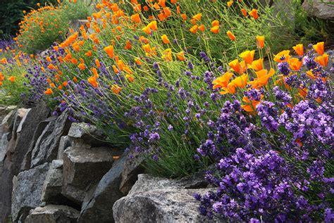 lavender soil ph how to grow lavender cottage garden living