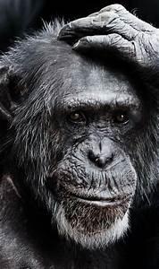 Chimp Facts