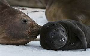 Southern Elephant Seals and Antarctic Fur Seals. South ...