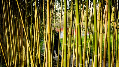 miximum rideau de bambou