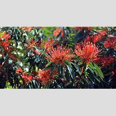 A Guide To Australian Native Plants Flowers Trees