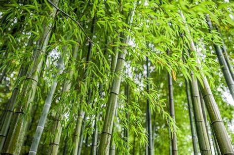 where will bamboo grow three ways on how to grow healthy bamboo out of culm cuttings