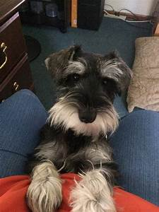 12 best black and silver schnauzers images on Pinterest ...