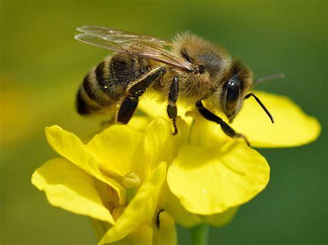 Images Of Bees Apis Mellifera La Enciclopedia Libre