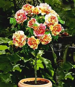 Rosen Für Balkon : rosen stamm 39 claude monet 39 1a qualit t online kaufen ~ Michelbontemps.com Haus und Dekorationen