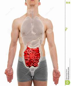 Small Intestine Male - Internal Organs Anatomy