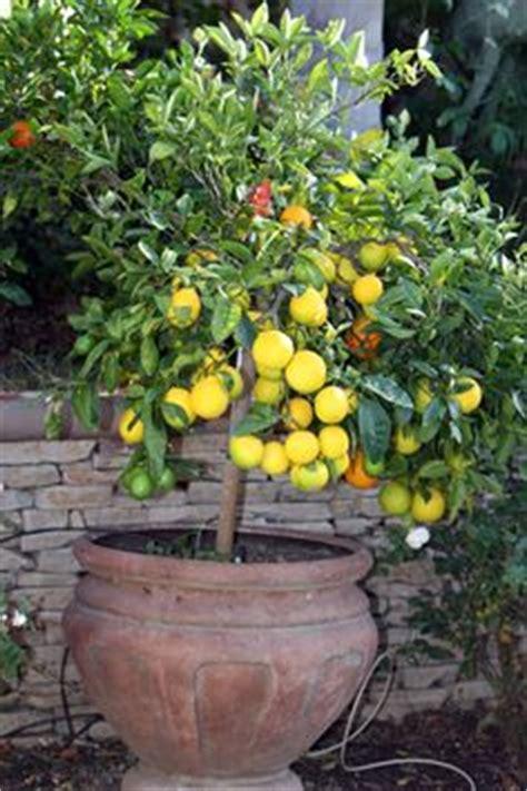 citrus salad tree citrus 2 graft fruit salad tree combines oranges mandarins lemons limes tangelos