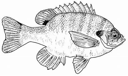 Bluegill Fish Coloring Pages Texas Bass Printable