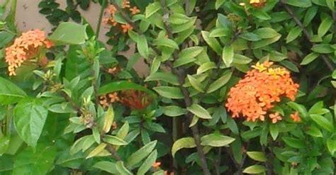 devita sri raihana soka bunga indah penghias taman