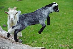 Goats have accents which they pick up from their peers ...