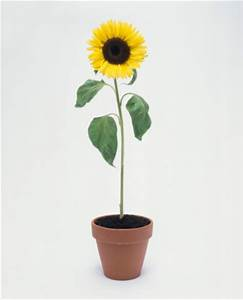 Sunflower In Pot Stock Photo | Getty Images