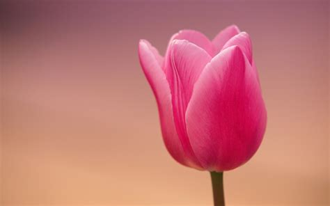 Pink Tulip Backgrounds by Tulip Wallpapers 183 Wallpapertag