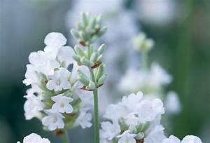 Welche Pflanzen Passen Zu Rosen : wei er lavendel eine besonderheit ~ Lizthompson.info Haus und Dekorationen