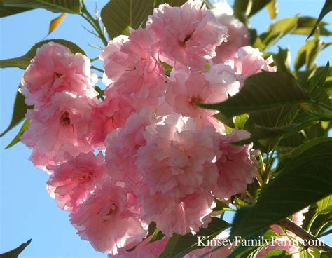 flowering cherry trees  sale georgia kinsey family farm