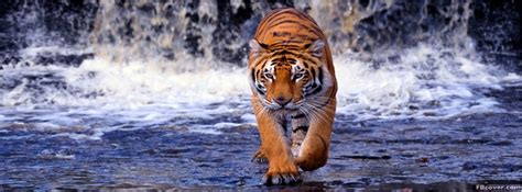 Great Bengal Tiger Facebook Cover Photo Fbcover
